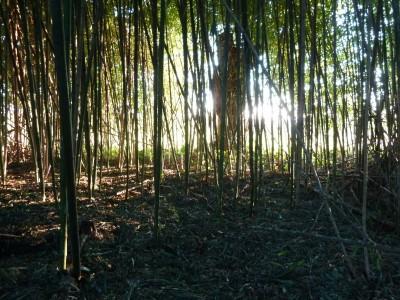 Bambouseraie en vendée