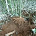 bambou-racines